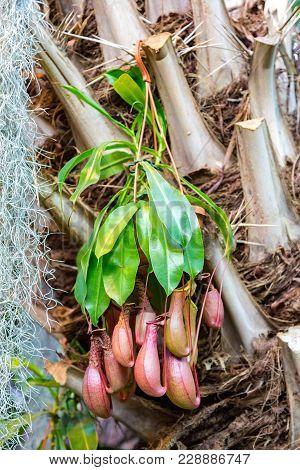 Predatory Plant Nepenthes