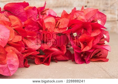 Bougainvillea flower. Bloom pink bougainvillea on old concrete background poster