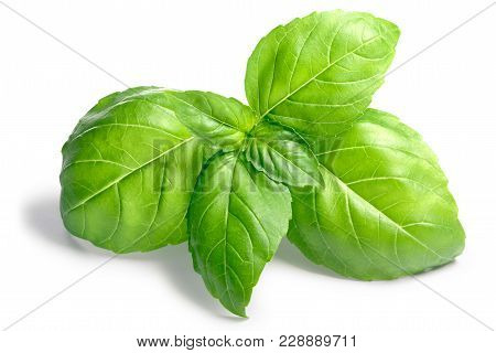 Basil O. Basilicum Leaves, Top, Paths