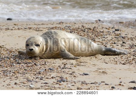 A Common Or Harbour Seal Pup, Phoca Vitulina, Resting On The Sandy Beach.