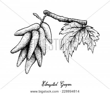 Berry Fruits, Illustration Of Hand Drawn Sketch Bunch Of Fresh Elongated Grapes, Moon Drops Grapes O