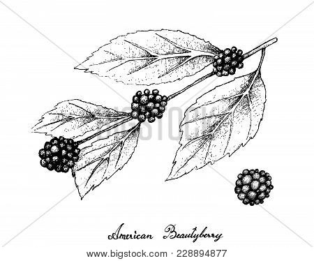 Berry Fruits, Illustration Of Hand Drawn Sketch American Beautyberry Or Callicarpa Americana Fruits
