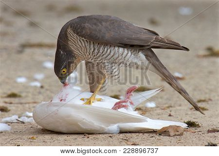 A Young Male Sparrowhawk Eating Freshly Caught Prey