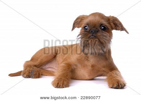 Smooth haired Brussels Griffon puppy isolated on white poster