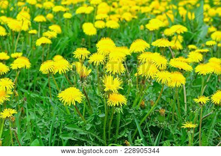 Dandelion Flowers On A Meadow,  Selective Focus
