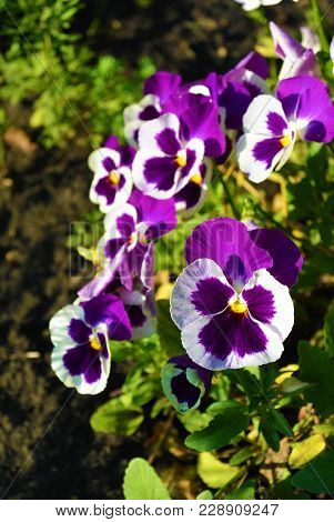 White And Purple Viola Tricolor Pansy Flowers On Flowerbed At Sunny Day