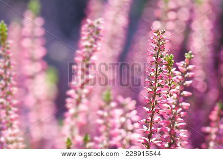 Violet Heather Flowers Field Calluna Vulgaris. Small Pink Lilac Petal Plants, Soft Background. Shall