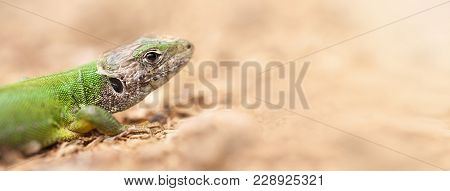 Close-up Of A Green Lizard - Web Banner With Blank, Copy Space