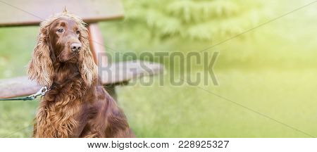 Web Banner Of A Cute Irish Setter Dog As Looking
