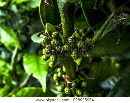 Green Coffee Beans On Coffee Tree, In Brazil