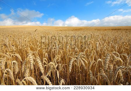 Landscape With Warm Colored Yellow Wheat Crops On Sunny Day On Rural Farmland. Ears Of Golden Wheat