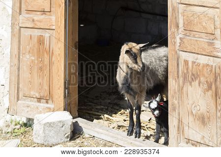 She-goat And Kid In The Shed. The Wooden Door And The Limestone Wall.