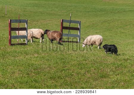 Stock Dog Moves Group Of Sheep (ovis Aries) Through Fences - At Sheep Dog Herding Trials