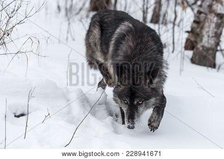 Black Phase Grey Wolf (canis Lupus) Stalks Forward - Captive Animal