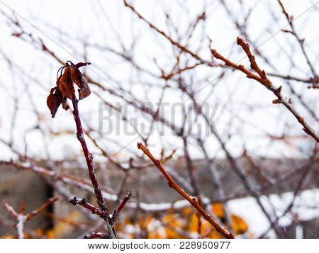 Winter Tree Red Branches With Single Flaccid Leaf On The Grey Village Sky Background. Naked Plum Or