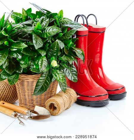 Green bush with flowers in basket red boots and garden tools spring branch mimosa gardening, isolated on white background.