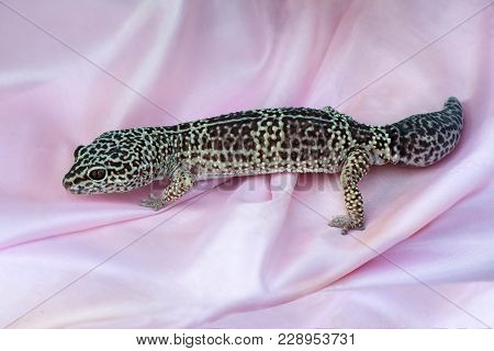 Leopard Geckos (eublepharis Macularius) On Pink Satin Fabric. Distributed In North-west Of India, In