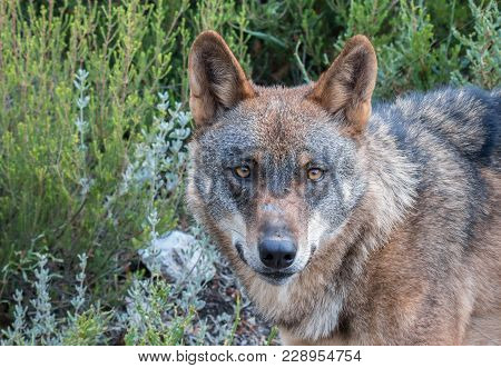 the Iberian wolf, beautiful animal of our country hated by some and loved by others