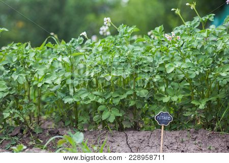 Bed With Flowering Potatoes. Violet Flowers Of Potatoes.plate With The Inscription Potatoes .