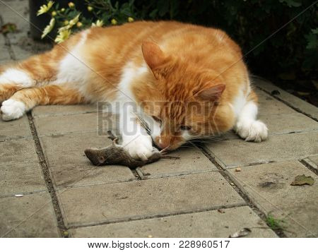 Red Cat Who Caught The Mouse Outdoors