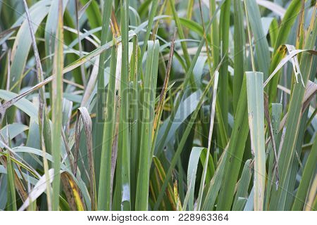 Thick grass at the edge of a swamp