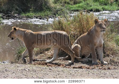 Two lioness at hunt around the river in Serengeti National Park poster