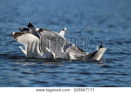 A Flock Of Hungry Gulls Competing For Food On A Lake.