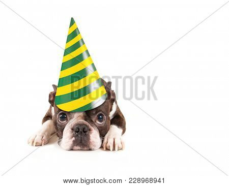 cute baby boston terrier on an isolated white background with a birthday hat on