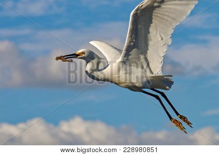 Great Egret Flying With Food In Beak At Sanibel Island Florida