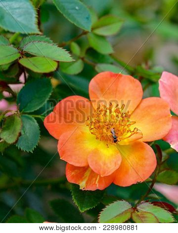 Closeup Of An Ant Sitting On A Paprika Shrub Rose With Green Leaves