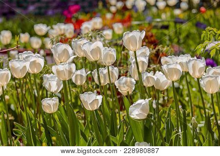 Field Of White Tulips In Spring In Minnesota