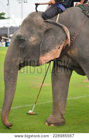 Elephant Polo Player Use Mallet Hit Polo Ball In Match.