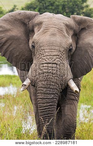 African Elephant Drinking At Waterhole In South Africa