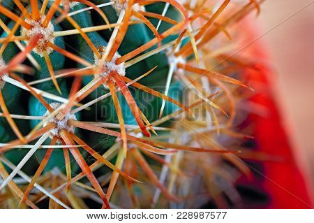 Gold Long Curved Sharp Spines Cactus. Beautiful Hook-shaped Dangerous Spikes. Close Up Long Thorns.