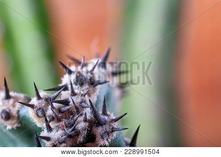 Abstract View Of Cactus Thorns. Concept Self-defense, Defense, Sustainability, Resistance. Copy Spac