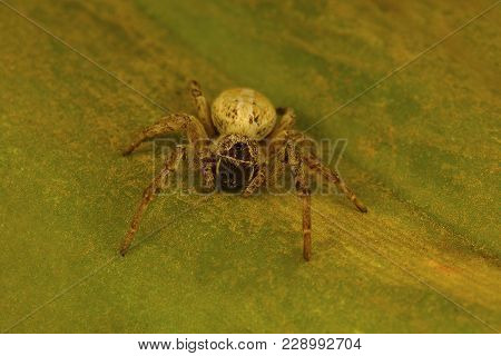 Social Spider Of The Genus Stegodyphus Which Live In A Colony. These Are The Only Known Social Spide