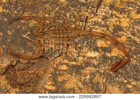 Bark Scorpion, Isometrus Vittatus Which Bears A Long Metasoma And Short Sting. Common On Tree Trunks