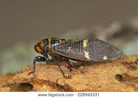 Colorful Cicada Species. Kanger Ghati National Park, Bastar District Chhattisgarh