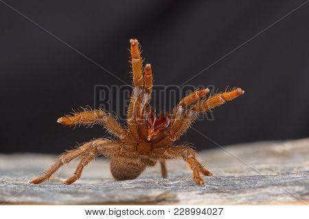 A Tarantula Of The Genus Heterophroctus Raised In Aggression Showing Its Fangs. Satara District, Mah