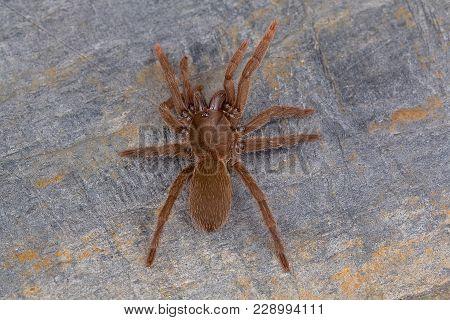 Tarantula Of The Genus Heterophrictus From Kaas, Satara District, Maharashtra, India