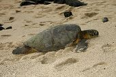 Basking turtle on the Big Island of Hawaii poster