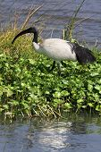 An african Sacred Ibis walks alongs the river in Ngorongoro Crater poster