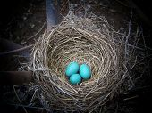 A nest with three eggs in the spring time. poster