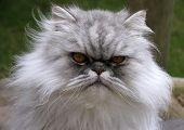 Henri The Persian Cat