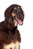 Arabian hound dog with glasses isolated on white background poster