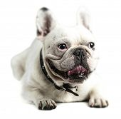 young french bulldog resting and showing the tongue on a white background poster
