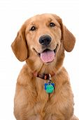Head and shoulders portrait of a very pretty young Golden Retriever against a 255 white background. The dog is wearing a collar and tags. poster