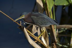 Green Heron Perched On Plant Stem In Lake In Florida.