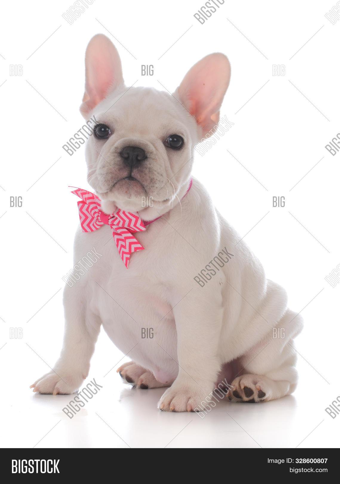 Female French Bulldog Image Photo