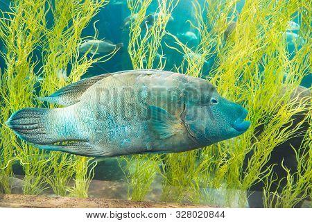 Blue Napoleon Wrasse Swimming In Ocean Aquarium Tank Aqua World In Phu Quoc, Vietnam